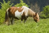 Horse Grazing In Cantabria, Northern Spain — Stock Photo