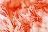 Detail Of Carnation Flower Petals — Stock Photo