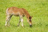 Foal Grazing In Field — Stok fotoğraf