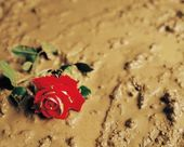 A Rose Discarded In Mud — Stock Photo