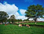 Hereford Bullocks, Ireland — Stock Photo