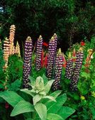 Lupins And Verbascum — Stock Photo