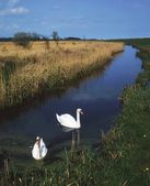 Swans Swimming In A Bog Near Newcastle, County Wicklow, Ireland — Stock Photo