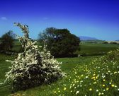 Hawthorn Blossom And Wildflowers, Co Louth, Ireland — Stockfoto