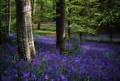 Glens Of Antrim, Bluebells, Portglenone Forest, Ireland — Stock Photo