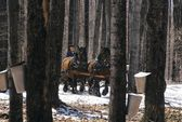 Horses Pulling Wagon In Maple Forest — Stock Photo