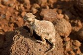 A Round-Tail Horned Lizard Sitting On A Rock — Stock Photo