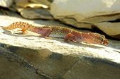 An Alert And Active Texas Banded Gecko — Stock Photo