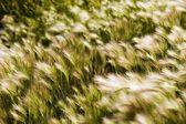 Foxtail Barley — Stock Photo