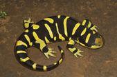 Texas Barred Tiger Salamander — Stock Photo