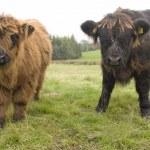 Highland Cattle Calves, Scotland — Stock Photo #31788151