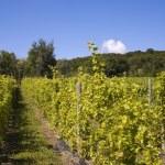 Vineyard — Stock Photo #31789067