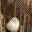 Sea Shell On Driftwood — Stock Photo #31789189