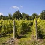 Vineyard — Stock Photo #31789321