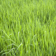 Rice Field — Stock Photo #31789893