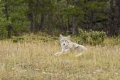 Coyote (Canis Latrans) — Stock Photo