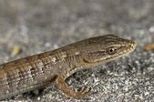 A Juvenile San Diego Alligator Lizard (Elgaria Multicarinata Webbii), California, USA. Lizard Sitting On A Boulder — 图库照片