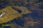 Bullfrog Tadpole In The Water — Stock Photo