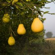 Pomelo Fruit Tree, China — Stock Photo