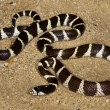 California kingsnake — Stock Photo #31792335