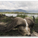 African Cape Buffalo Skull, Ngorongoro Crater, Tanzania, Africa — Foto Stock
