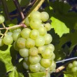 Grapes On The Vine — Stock Photo #31792693