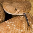 Постер, плакат: A Defensive Red Diamond Rattlesnake Crotalus Ruber