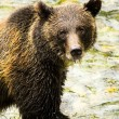Grizzly Bear — Stock Photo #31794747