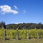 Vineyard — Stock Photo #31795903
