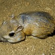 Merriam's Kangaroo Rat — Stock Photo #31796113