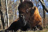 A Buffalo Resting — Stock Photo