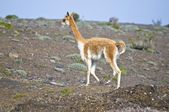Vicuna, Side View — Stockfoto