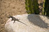 A Great Basin Fence Lizard (Sceloporus Occidentalis Longipes) Basking On A Boulder — Stock Photo