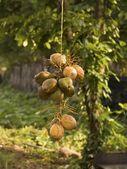 Coconuts, Kerala, India — Stock Photo