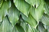 Hosta Leaves — Stock Photo