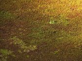 An American Bullfrog Hiding In Duckweed — Stock Photo
