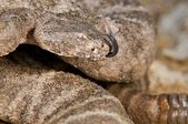 A Defensive Tiger Rattlesnake (Crotalus Tigris) — Stock Photo