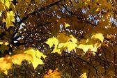 在秋天的树叶 — 图库照片