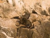 Sea Lion, Los Cabos, Mexico — Foto de Stock