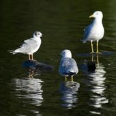 Lake Of The Woods, Ontario, Canada. Three Ring-Billed Gulls Standing In The Water — Stock Photo