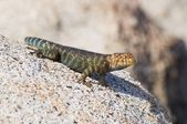 A Granite Spiny Lizard (Sceloporus Orcutti) Basking On A Granite Boulder — Stock Photo