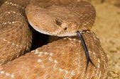 A Defensive Red Diamond Rattlesnake (Crotalus Ruber) — Stock Photo