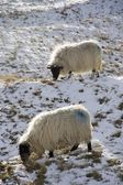 Sheep In Field Of Snow — Stock Photo