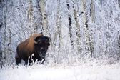 Bison In The Snow, Elk Island National Park, Alberta, Canada — Stock Photo