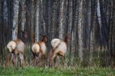 Three Elk Running In A Forest — Stock Photo