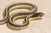 Coast Garter Snake, (Thamnophis Elegans Terrestris). Snake On The Ground — Stock Photo