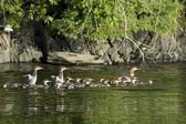 Lake Of The Woods, Ontario, Canada. Ducks And Ducklings On The Water — Stock Photo