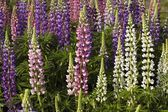 Lupine Flowers In A Garden — Stock Photo