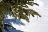Branches Of Evergreen Tree With Icicles — Stock fotografie