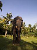Elephant, Kerala, India — Stock Photo